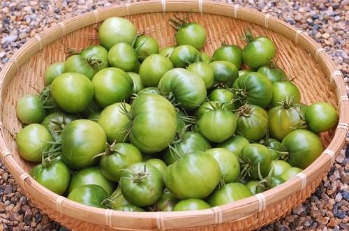 撤収作業中に収穫した青トマト